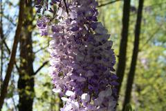 Lilacs Stock Photos