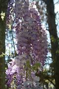Lilacs - stock photo