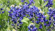 Stock Video Footage of Texas Bluebonnets 2