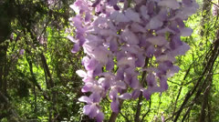Lilacs in the Breeze - stock footage