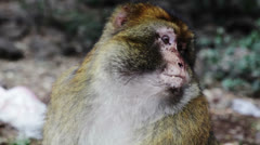 Macaque Monkey eating Stock Footage