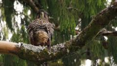 Endangered rare New Zealand Falcon bird  fluffing out its feathers. Stock Footage
