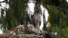 Endangered rare New Zealand Falcon bird in tree. Stock Footage
