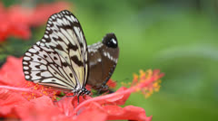 Butterfly is feeding on flower Stock Footage