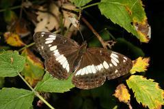 white admiral (limenitis camilla) - stock photo