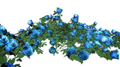 Stock Video Footage of Blue Roses VBHD0120