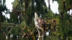 Endangered rare New Zealand Falcon bird flies away. Stock Footage
