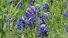 Texas Bluebonnets 3 Stock Footage