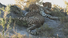 Two Exhausted Cheetahs Stock Footage