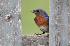 Eastern bluebird on a fence Stock Photos
