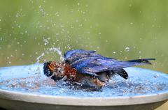 eastern bluebird beating the heat - stock photo