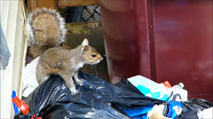 Squirrel searches garbage bag - stock footage