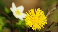 Coltsfoot and anemone Stock Footage