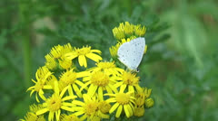 Holly blue butterfly on Ragwort ( Jacobaea vulgaris ) + flies off Stock Footage