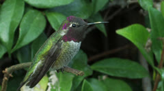 Angry bird 5: Anna's Hummingbird ward off invader, invokes territorial call Stock Footage