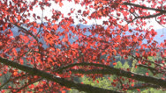 Stock Video Footage of Maple tree