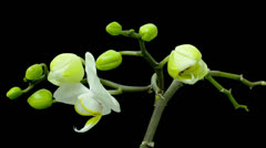 Time lapse phalaenopsis orchid Stock Footage