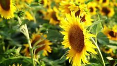 Succulent sunflowers - stock footage