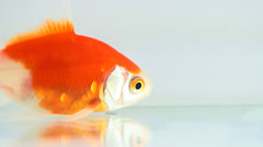 Gold fish - stock footage