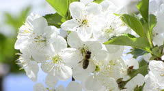Honey bees flower wide angle Stock Footage