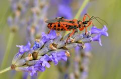 Assassin bug on lavender - stock photo