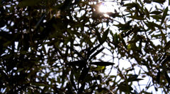 olive branches - stock footage