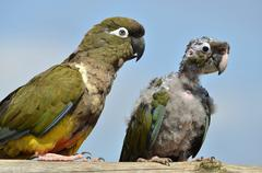 Two Burrowing Parrots Stock Photos