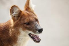 portrait of an australian dog, a dingo - stock photo