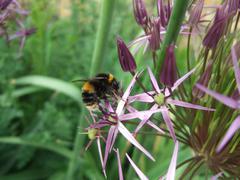 Allium Christophii with Bumblebee Bombus Terrestris Stock Photos
