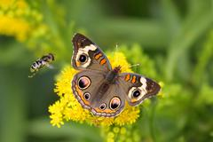 Common buckeye butterfly and bee Stock Photos