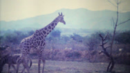 Stock Video Footage of Giraffes Roaming Through Game Park-1979 Vintage 8mm film