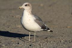 california gull (larus californicus) - stock photo