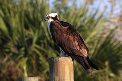 osprey on a pole - stock photo