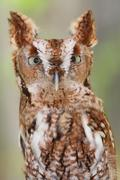 eastern screech-owl (megascops asio) - stock photo