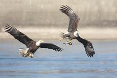 bald eagles (haliaeetus leucocephalus) - stock photo