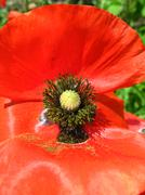 beautiful flower of red poppy - stock photo