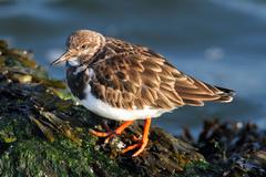 ruddy turnstone (arenaria interpres) - stock photo