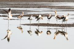 american avocet (recurvirostra americana) - stock photo