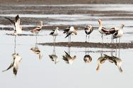 Stock Photo of american avocet (recurvirostra americana)
