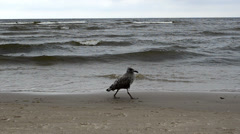 Seagull bird baby walks coastal sea sand and waves Stock Footage
