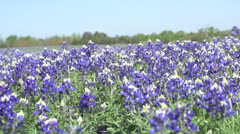 Bluebonnets moving Forward 2 - stock footage