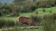 Red deer stag eating grass and feeding. Stock Footage