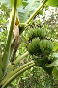 Banana on tree Stock Photos