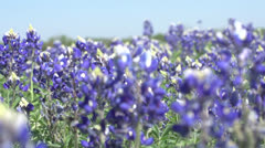 Bluebonnets Angle away Stock Footage