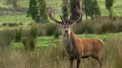 Red deer stag on lookout for danger then walks away. Stock Footage