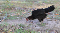 Chicken finding food on ground. Stock Footage