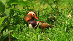 Mandarin Duck Resting Stock Footage