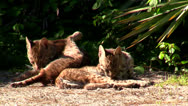 Stock Video Footage of Lazy Bobcats 2