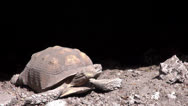 Stock Video Footage of Tortoise