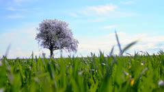 Lonely Spring Garden Tree on Green Grass Field - HD Background Stock Footage